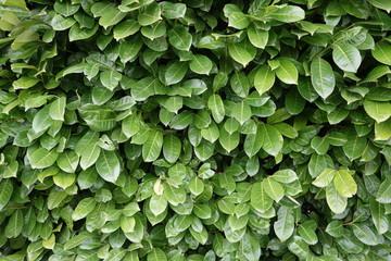 jardinage - texture haie