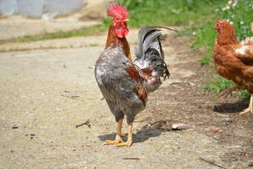 gallo de corral en un gallinero