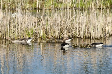 Two greylag goose families swimming with their goslings