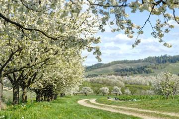 blühende Kirschbäume, Schwarzwald