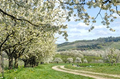 Fotografiet blühende Kirschbäume, Schwarzwald