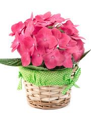 Hortensia hydrangea pink flower in a pot