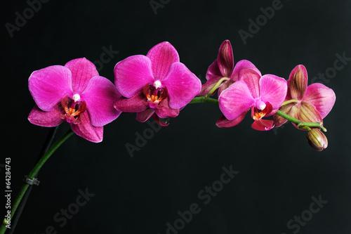 Papiers peints Orchidée pink orchid on black