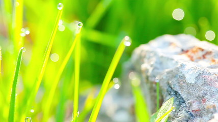 green grass and drops of morning dew