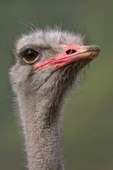 Ostrich head close up