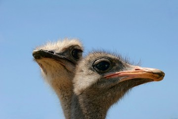 Ostrich heads close up