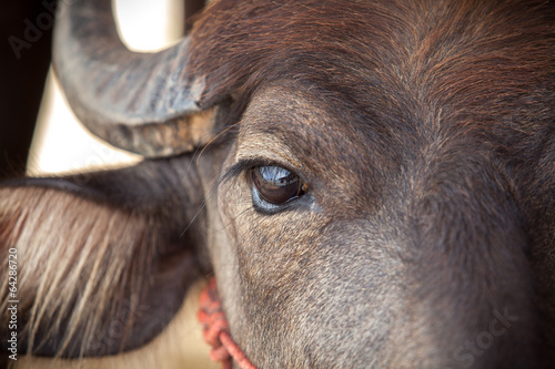 Aluminium Buffel Eye Dairy buffalo