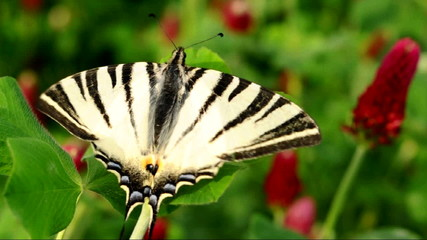 Old World Swallowtail butterfly (Papilio machaon)