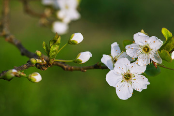 A  branch of blossoming apple tree