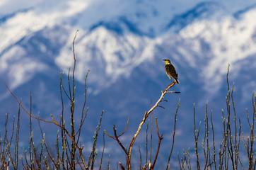 Western Meadowlark Perched on a Tree