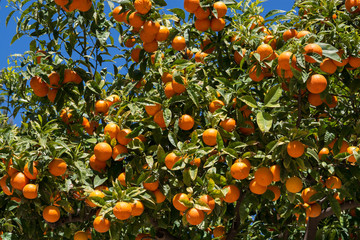 Orangenbaum 2
