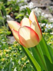 view of tulip in bloom in the garden