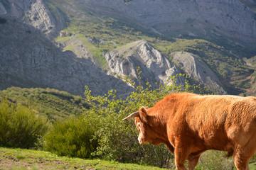 toro libre en los picos de europa, asturias