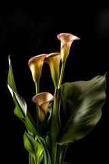 Zantedeschia aethiopica, Calla Lily