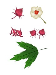 Parts of Hibiscus Sabdariffa or Roselle Plant