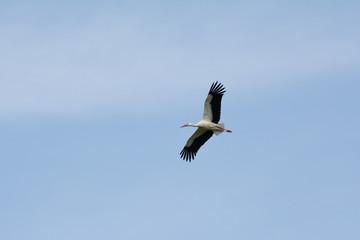 White stork, Salburua park, Vitoria (Spain)