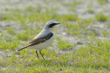 Northern wheatear, Oenanthe oenanthe, single male