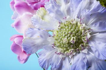 Purple Pincushion and pink Freesia flowers