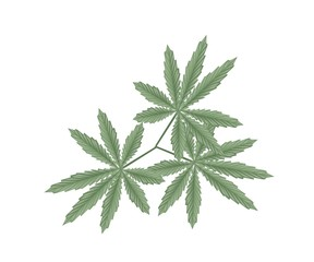 Cannabis or Marijuana Leaves on White Background