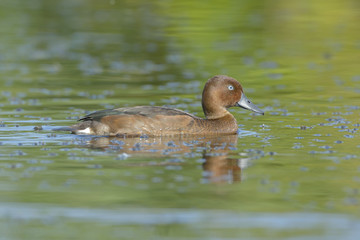 Ferruginous Duck (Aythya nyroca) on lake