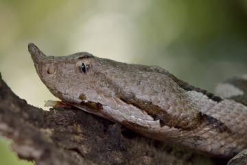 Horned viper in natural habitat (vipera ammodytes)