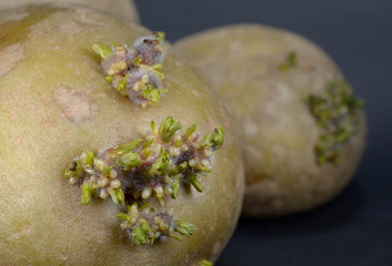 potato shoot macro
