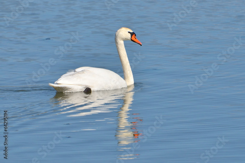 Fotobehang Mute Swan - Cygnus olor Adult with four cygnets