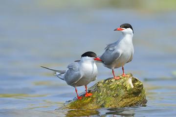Common Tern in natural habitat (sterna hirundo)