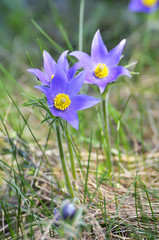 Mountain Pasqueflower (Pulsatilla montana)