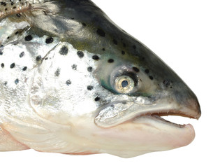 Atlantic Salmon Head