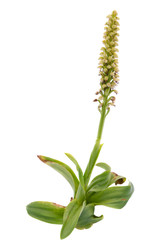 Wild Man Orchid isolated - Orchis anthropophora