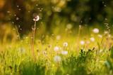 spring dandelion - 64299396