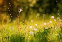 pissenlit de printemps