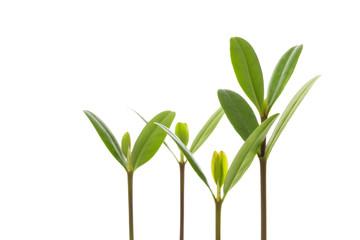 マングローブの新芽