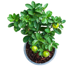 Isolated young lemon tree in pot