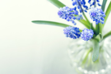 Blue grape hyacinth spring flowers