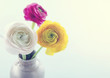 Colorful ranunculus flowers4