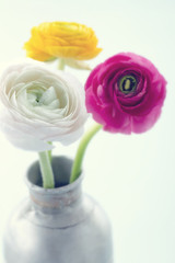 Colorful ranunculus flowers2