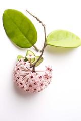Hoya flower close up