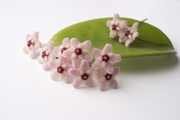 Hoya flower close up