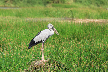 Asian openbill stork on the green land