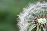 beautiful dandelion closeup - 64303115
