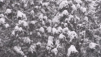 Snow falling on the forest,in Toyama,Japan