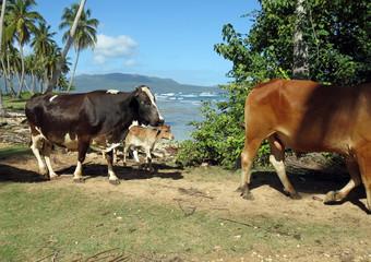 troupeau de vaches en république dominicaine