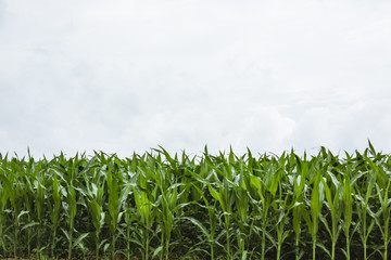 Corn crop in Amish Country