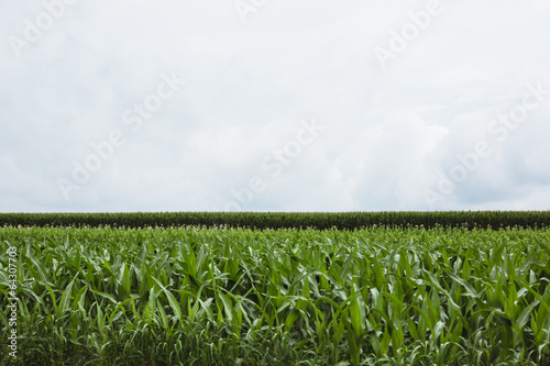 Vegetable crops on farm