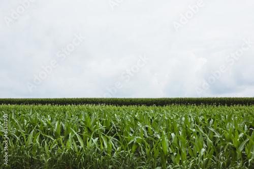 Vegetable crops on farm