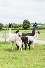 Four Lama's on farm in Amish country