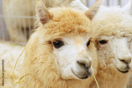 Foto op Plexiglas Lama two fluffy alpacas