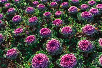 Fresh young organic collard greens,cabbage garden